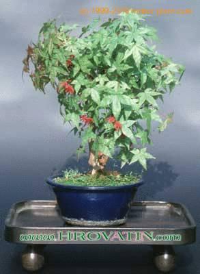 Acer rubrum american red maple care - Arce rubrum bonsai ...