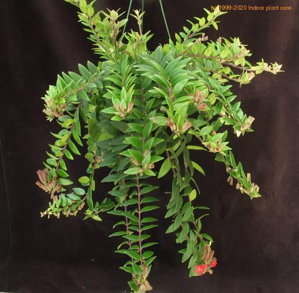 Aeschynanthus Lobbianus Lipstick Plant Aeschynanthus Radicans