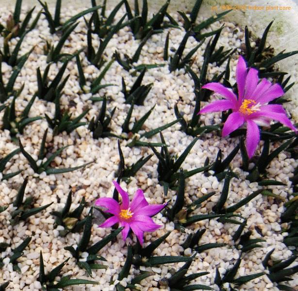 Ariocarpus Agavoides Living Rock Neogomesia Agavoides