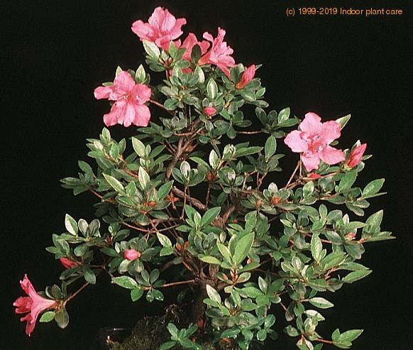 Azalea rhododendron care - Care azaleas keep years ...