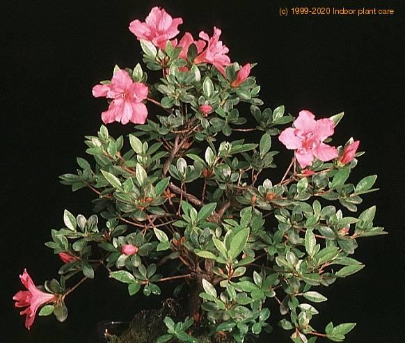 Azalea Rhododendron Care