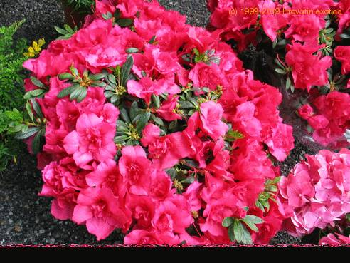 Azalea rhododendron care for How to care for rhododendrons after blooming