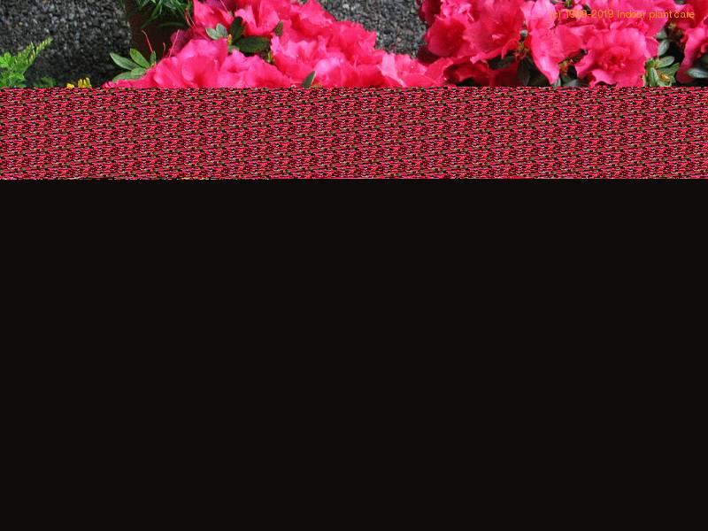 Azalea Indica Azalea Indica Rhododendron Indicum Care
