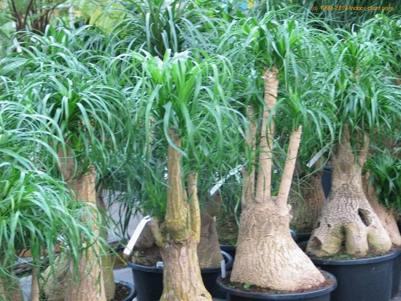 Beaucarnea recurvata ponytail palm care for Beaucarnea recurvata