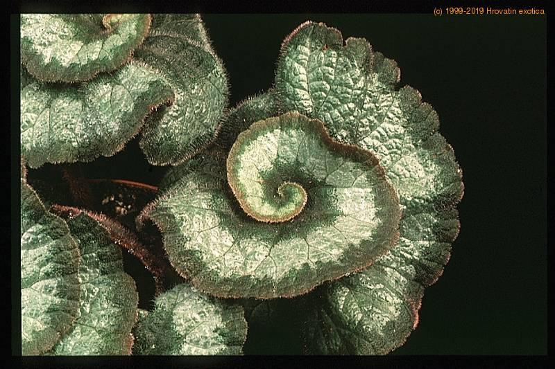 Begonia Rex Quot Escargot Quot Care