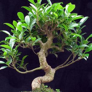 gardenia bonsai: Bonsai Trees Silhouettes