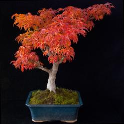 Bonsai trees - outdoor