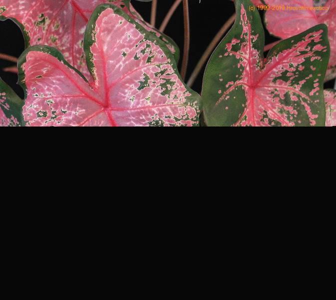 Caladium Hortulanum Candidum Angel Wings Care