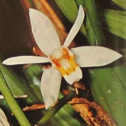 Orchids - Phalaenopsis, Cymbidium, Dendrobium, Cattleya, Orchidaceae