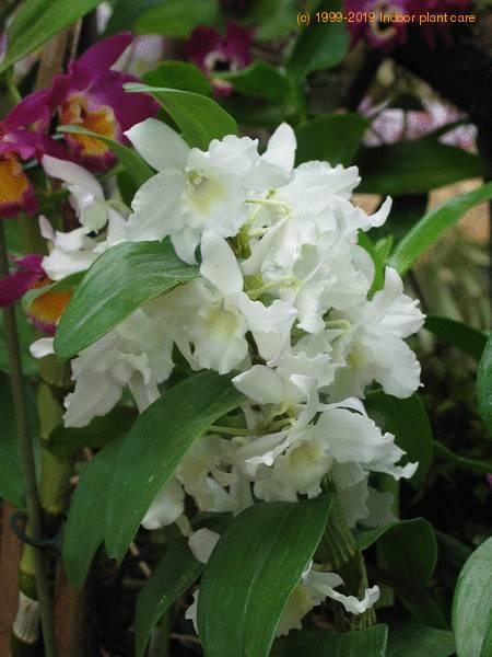 Dendrobium Species Dendrobium Sp Care