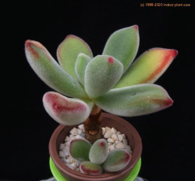 Echeveria Pulvinata Plush Plant Care