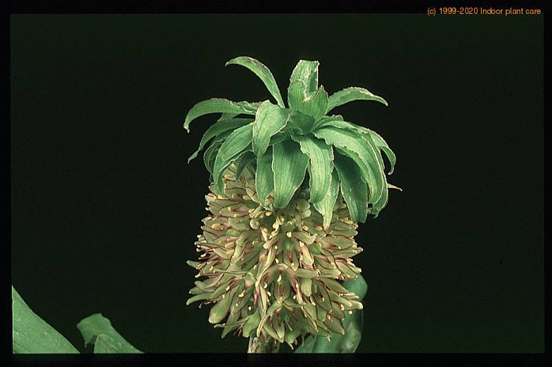 Eucomis Bicolor Pineapple Lily Care