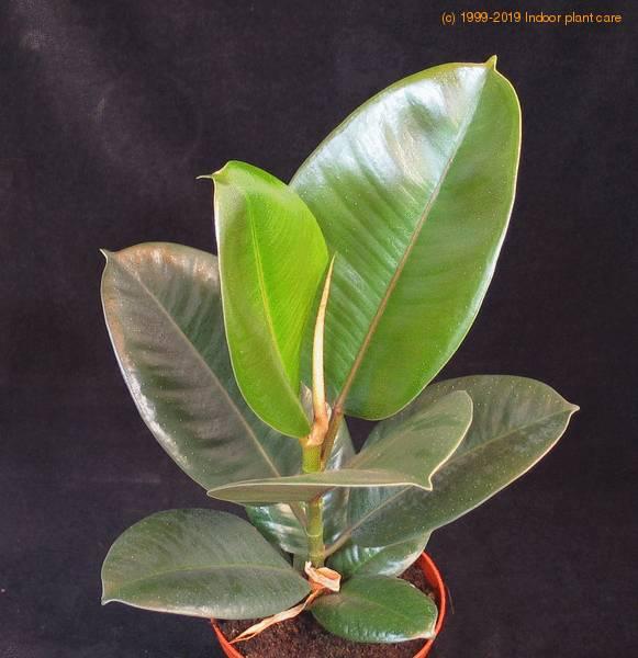Ficus Elastica Robusta India Rubber Fig Rubber Plant Care