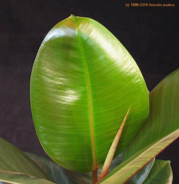 ficus elastica robusta india rubber fig rubber plant care