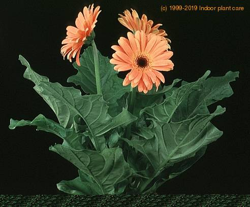how to take care of gerbera plant