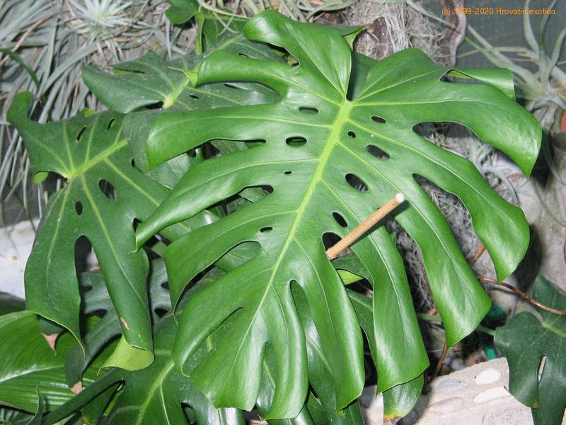 Monstera deliciosa - Ceriman, Windowleaf, Split-leaf ...