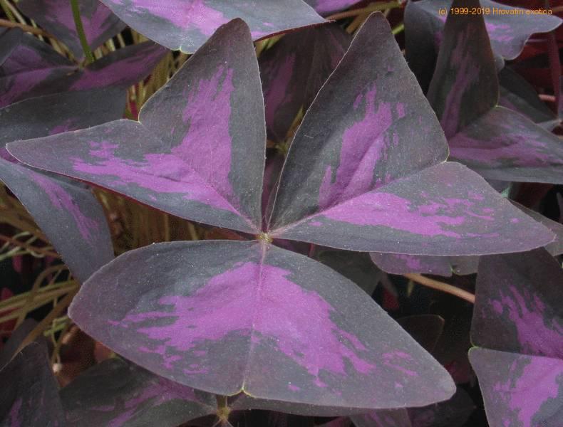 Oxalis triangularis ssp papilionacea lucky shamrock plant care - Shamrock indoor plant ...