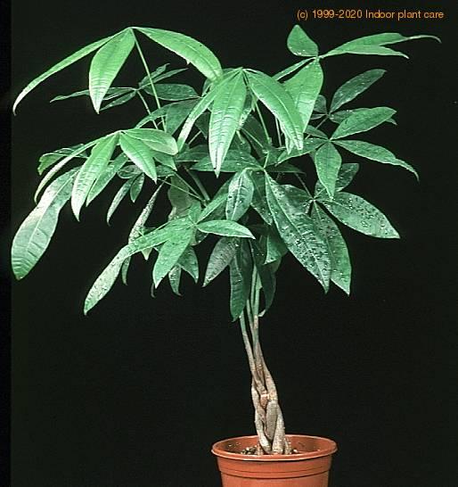 Pachira aquatica guiana chestnut pachyra grandiflora aquatica pachyra nitida pachyra - Indoor water plants list ...
