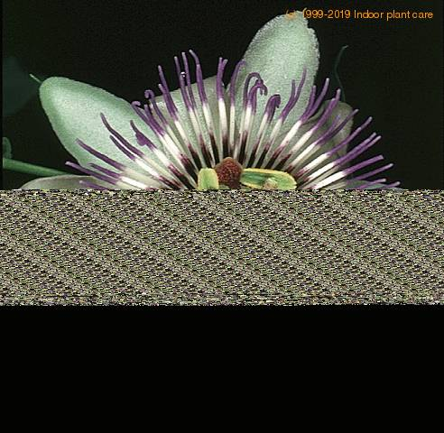 passiflora caerulea blue passion flower tacsonia care. Black Bedroom Furniture Sets. Home Design Ideas