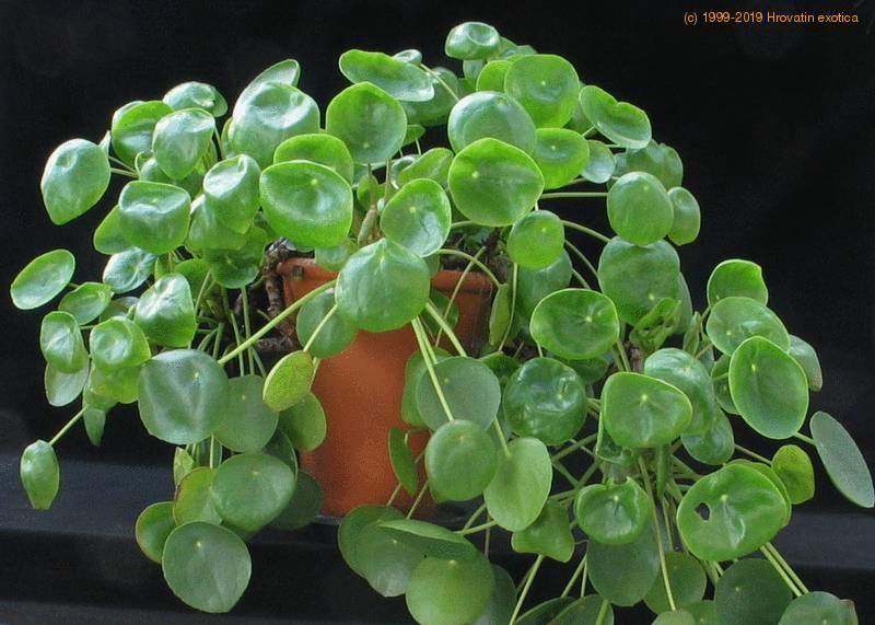 Pilea peperomioides care for Plante pilea