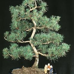 Bonsai trees outdoor outdoor bonsai outdoor bonsai for Indoor plant maintenance