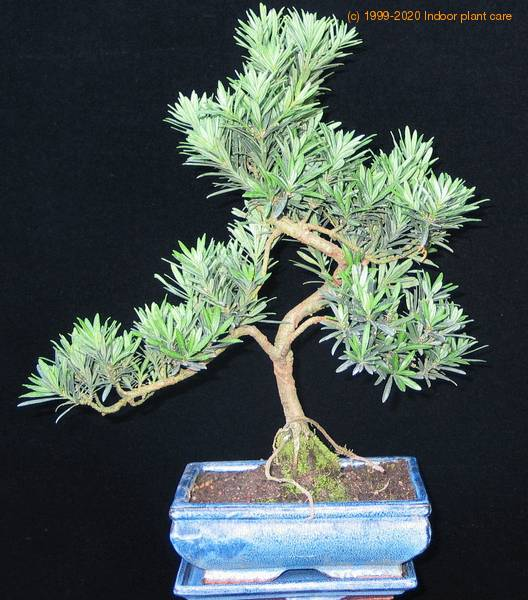 Podocarpus Care