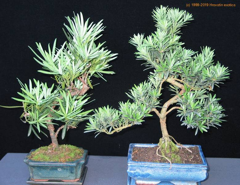 Podocarpus care - Indoor water plants list ...