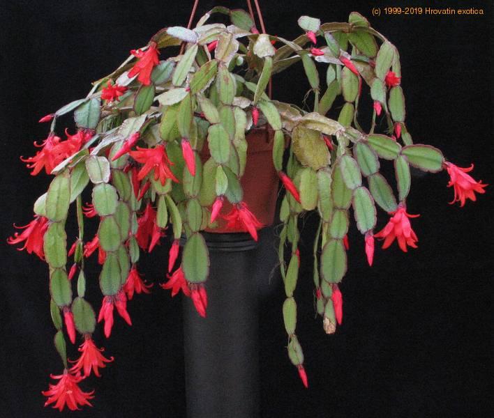 Schlumbergera Gaertneri Easter Cactus Schlumbergera