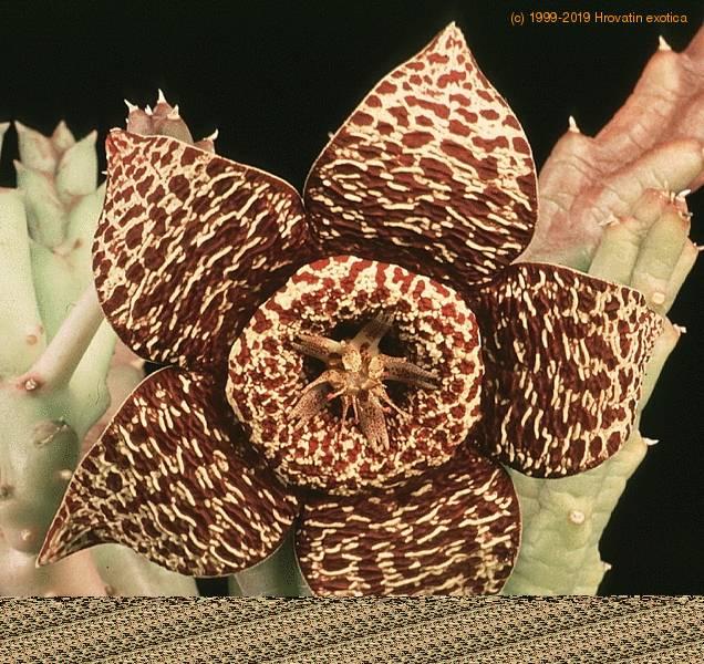 Stapelia variegata var rogosa orbea rogosa orbea for Stapelia variegata