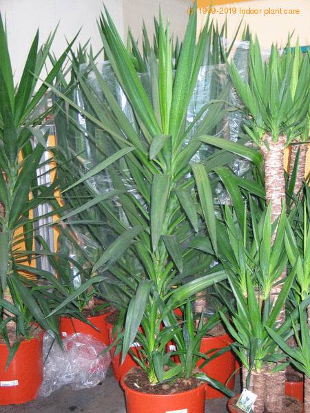 Yucca elephantipes - Spineless yuca - Yucca guatemalensis care