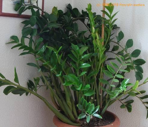 Zamioculcas zamifolia aroid palm arum fern z z plant for Plante zamioculcas